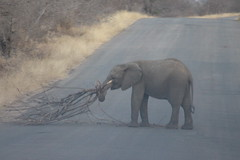 Baby Elephant causing a Roadblock (Rckr88) Tags: baby elephant causing roadblock babyelephantcausingaroadblock krugernationalpark southafrica kruger national park south africa road roads animals animal elephants nature naturalworld outdoors wilderness wildlife