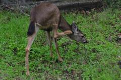 Scratching an itch (wynner3) Tags: nikon nikond7000 nikkor200500mmf56 california muledeer deer bayarea wildlife blacktaileddeer