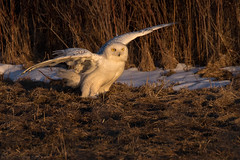 Golden Hour Snowy Owl (NicoleW0000) Tags: snowyowl owl birdofprey bird wild wildlife eyes light goldenhour ontario