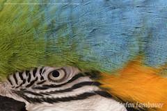 Arara Canindé (Stefan Lambauer) Tags: arara cores antônia ave bird oscarinnecoresort macro animal nature colors águasdelindóia sãopaulo stefanlambauer brasil brazil 2018 araracanindé