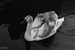 Wes-Del Marina Resident Swan B+W (SonjaPetersonPh♡tography) Tags: delta swan ladner canoepass wesdelmarina river water marina ladnerwetlands waterfowl bird bc britishcolumbia canada nikond5300 nikon species wings