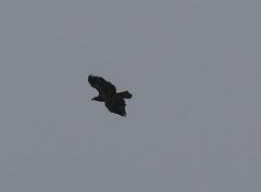 eagle in snow 2 (foxtail_1) Tags: haliaeetusleucocephalus eagle eagles baldeagle panasonicg9 lumixg9 g9 bluestonelake eaglecount