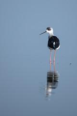 HoskoteBirding_Jan2019_D75_8399 (mgcs) Tags: hoskote birds indianbirds karnataka nikond750 nikkor200500 wild handheld