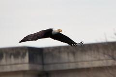 Bald Eagle (Michael Pike) Tags: bald eagle bird the dalles dam oregon thedallesdalles canon 77d sigma 50500