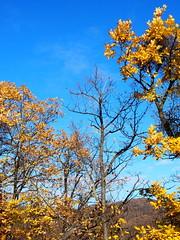 oszlás, foszlás / wilting (debreczeniemoke) Tags: ősz autumn erdő forest wood fa tree sárga yellow hervadás wilting ég sky kék blue olympusem5