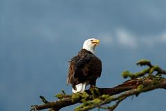Territorial (Beve Brown-Clark) Tags: eagle eagles raptor baldeagle bird birdofprey birds wildlife nature ©bevebrownclark