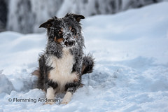 snow face (Flemming Andersen) Tags: winther pet nature dog outdoor bordercollie snow yatzy animal