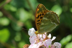 Silver-washed Fritillary -Argynnis paphia  - Near Wool (3) (Ann Collier Wildlife & General Photographer) Tags: silverwashedfritillary argynnispaphia wool dorset dorsetwildlife butterflies butterfliesmothsandcaterpillars insects lepidoptera macro
