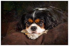 Lilly (Pepenera) Tags: dogs cane cani dog portrait cavalier cavalierkingcharlesspaniel