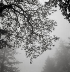 Portland (austin granger) Tags: portland tree branches fog oregon cemetery winter film square gf670