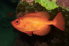 red flair (BarryFackler) Tags: seacreature animal sealife undersea hawaii coralreef 2018 water scuba zoology island kona bigisland diver tropical honaunau aquatic heteropriacanthuscruentatus commonbigeye aweoweo glasseye hcruentatus nocturnal marinelife pacificocean hawaiiisland hawaiicounty sea coral vertebrate barryfackler nature westhawaii ecology reef underwater life diving ocean dive honaunaubay konadiving fauna hawaiidiving sandwichislands bay southkona biology marineecosystem being creature ecosystem sealifecamera marine organism marinebiology outdoor marineecology polynesia konacoast fish bigislanddiving barronfackler saltwater wildlife