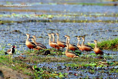 IMG_2179 Lesser Whistling Duck (Dendrocygna javanica) (vlupadya) Tags: greatnature animal bird aves fauna indianbirds lesser whistling duck dendrocygna malyadi karnataka