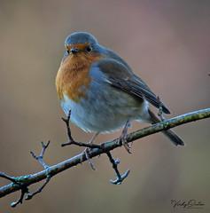 Christmas robin. (vickyouten) Tags: robin robinredbreast nature wildlife nikon nikond7200 nikonphotography britishwildlife sankeyvalleypark warrington uk 55300mm nikkor55300mm vickyouten