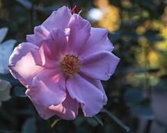 2018 Autumn rose (shinichiro*) Tags: 20181102sdim6781 2018 crazyshin sigmasdquattroh sdqh sigma1770mmf284dcmacrohsm november autumn yokohama 横浜イングリッシュガーデン rose flower macro 46438319571 4983492 201904gettyuploadesp