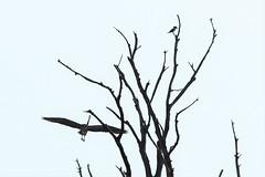 Great Blue Heron and Kingfisher (j shew) Tags: bombayhook kingfisher greatblueheron great