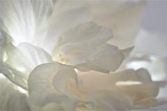 Triple Hibiscus flower (maríaelenalópez) Tags: lookingcloseonfriday tonosdeblanco hibiscus whiteflower triplehibiscus macrophotography nikon7200 85mm whitepetals weiss shadesofwhite whiteonwhite macromondays