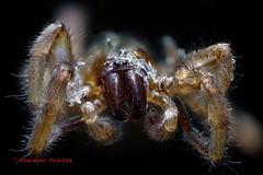 Aracnide (Vincenzo Culotta) Tags: ragno macro microfotografia soffietto animal aracnide aracnofobia culotta dettagli animale spider araignée arana artropodi araneae