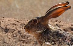 Scrub Hare,  Kgalagadi Transfrontier Park (SuzieAndJim) Tags: naturephotography nature scrub hare africa southafrica kalahari transfrontier kgalagadi suzieandjim