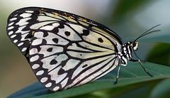 The Pollenator (Ste.Baz) Tags: paperkite butterly mariposa papillon macro pollen pollenator