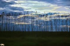 Eucalyptus grandis (Otacílio Rodrigues) Tags: natureza nature árvores trees eucaliptos eucalyptus céu sky nuvens clouds nascerdosol sunrise plantação plantation resende brasil oro supershot
