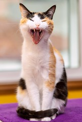 me aburrooooooo!!!!! (hilariopv) Tags: chulina chulinaesdivina adorable guapa preciosa linda lareinadelacasa chuli gatitabonita hilarioperez bostezo gatuno