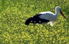 storch im glück (lualba) Tags: storch stork meadow wiese landscape landschaft nature natur yellow gelb alentejo portugal