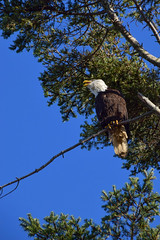Welcome back (James_D_Images) Tags: eagle bird perched tree douglasfir baldeagle beak open calling branch blue sky pacific coast crescentbeach surrey britishcolumbia pacificnorthwest feathers needles branches