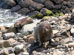Fur seal (Victor Engmark) Tags: taiaroahead newzealand outdoor seal furseal animal mammal rock sea