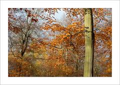 Autumn Beech Trees - iv (Steve-T201) Tags: sherwoodforest nottinghamshire beechtrees autumn colours