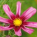 A variety of pink dahlia...