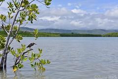 Mangrove Heron (Butorides striata) (shaneblackfnq) Tags: mangrove heron butorides striata shaneblack bird port douglas fnq far north queensland australia tropics tropical
