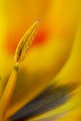 Older and Wiser (LadyBMerritt) Tags: flower plant tulip yellow orange red green colour petals stamen