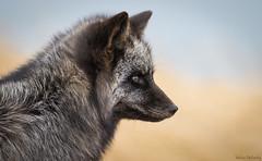 Silver Fox (Melissa M McCarthy) Tags: silverfox fox animal nature outdoor wildlife wild black grey gray white portrait side profile face closeup bokeh signalhill stjohns newfoundland canada canon7dmarkii canon100400isii