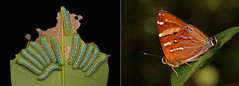 METAMORPHOSIS - Mixed Punch (Dodona ouida, Riodinidae) (John Horstman (itchydogimages, SINOBUG)) Tags: insect macro china yunnan itchydogimages sinobug entomology collage metamorphosis butterfly lepidoptera punch riodinidae caterpillar larva dodona ouida dodonaouida explore tweet topf25 fbbaw