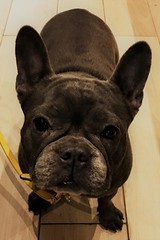 IMG_1030 (2) (kriD1973) Tags: europe europa france francia frankreich côtedazur costaazzurra frenchriviera dog dogs cane cani hund hunde chien chiens perro perros french bulldog nice nizza niza nissa animal animale tier bangkok pet pets animali domestici haustier haustiere