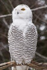 Snowy Owl (Rackelh) Tags: owl bird animal snowy snowyowl white zoo toronto ontario canada