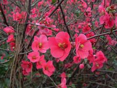 Peri del Giappone (Chaenomeles japonica) (giorgiorodano46) Tags: marzo2007 march 2007 giorgiorodano chaenomeles chaenomelesjaponica pescodelgiappone hortigalateae roma italy fleur flower blossom