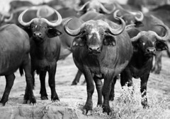 20190106_179 (zubaa) Tags: kamweti kenya tsavowestnationalpark tsavo protectedarea conservation wildlife blackwhite bw buffalo capebuffalo synceruscaffer