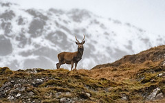 Stag (cazalegg) Tags: stag deer red ardnamurchan scotland nature nikon wildlife d500 mammal animal mountain snow