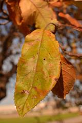 Still Clinging On (kendoman26) Tags: leaf hmm happymacromonday nikon nikond7100 nikon35mmafsdx autumn autumncolors
