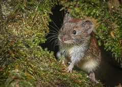 Bank Vole (Rob Booth Imagery) Tags: