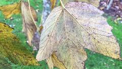 Sycamore - underside of leaf close up - November 2018 (Exeter Trees UK) Tags: sycamore underside leaf close up november 2018