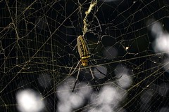 Giant Wood Spider! (Abeer!) Tags: abeer abeerbarman animal green india insect bengal nature web white wildlife buxa buxatigerreserve yellow giant wood spider giantwoodspider nephila pilipeswest arachnid