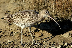 Curlew-7D2_0462-001 (cherrytree54) Tags: curlew wader wading bird shore rye harbour east sussex canon 7d sigma 150600