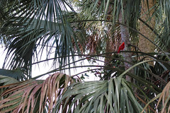 Cardinal - Blue Springs State Park - Florida (BeerAndLoathing) Tags: 2018 usa floridatrip river 77d stateparks birds bluesprings february canon winter trips florida