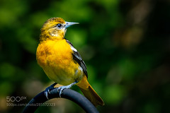 Baltimore Oriole (KevinBJensen) Tags: oriole female baltimore northern birds ornithology no person wildlife wild avian orange brilliant color