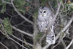 Barred Owl (maverikbandit) Tags: raptor toronto flight bird canada ontario gta eagle sky feeding matting animal sony nikon d300 a77ii animals birds wildlife barred owl barredowl