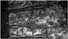 "DECEMBER 2017  NGM_6887_3543-1-222 (Nick and Karen Munroe) Tags: 50f14 nikon50f14afs nikon50f14 crystals snow snowfall snowstorm snowy snowcrystals snowflakes pinetrees pineneedles pine branches branch tree trees firtrees wintry winter winterwonderland heartlakeconservationarea heartlakeconservation heartlakepark heartlake conservationarea conservation forest woods hike trail hiking forests wood natural karenick23 karenick karenandnickmunroe karenandnick munroe karenmunroe karen nickandkaren nickandkarenmunroe nick nickmunroe munroenick munroedesigns photography munroephotoghrpahy munroedesignsphotography nature landscape brampton bramptonontario ontario ontariocanada outdoors canada d750 nikond750 nikon blackandwhite bw blackwhite bandw monochrome mono 50 ""nikon 50mm"""