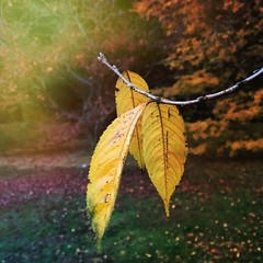 November yellow (gomosh2) Tags: yellow autumn leaves coth5