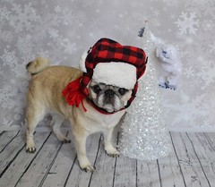 Yukon Cornelius and Bumbles (DaPuglet) Tags: pug pugs dog dogs pet pets animal animals rudolph bumbles yukoncornelius yukon silverandgold tree christmas cartoon hat scarf costume holidays winter funny cute snow snowflakes coth5